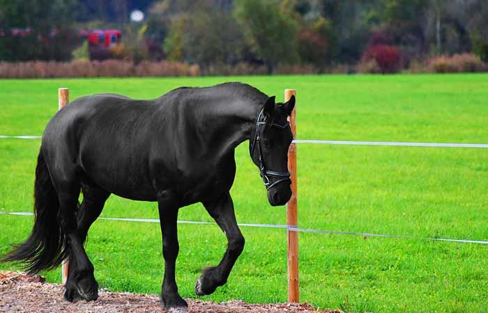 Female Black Horse