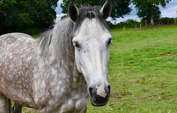 Female grey horse