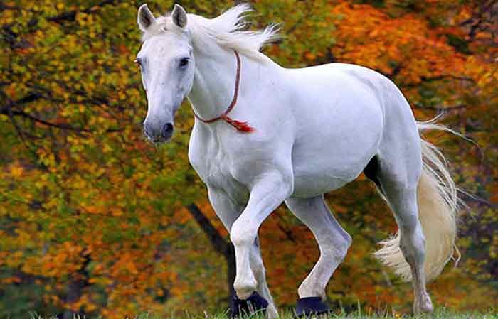 Female white horse