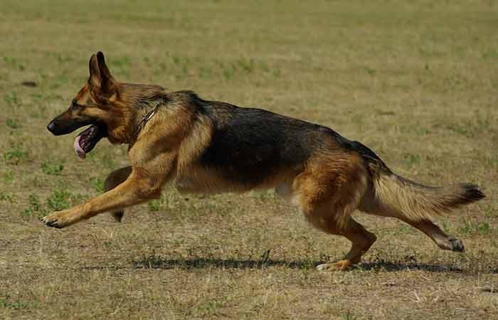 Male,Boy German Shepherd