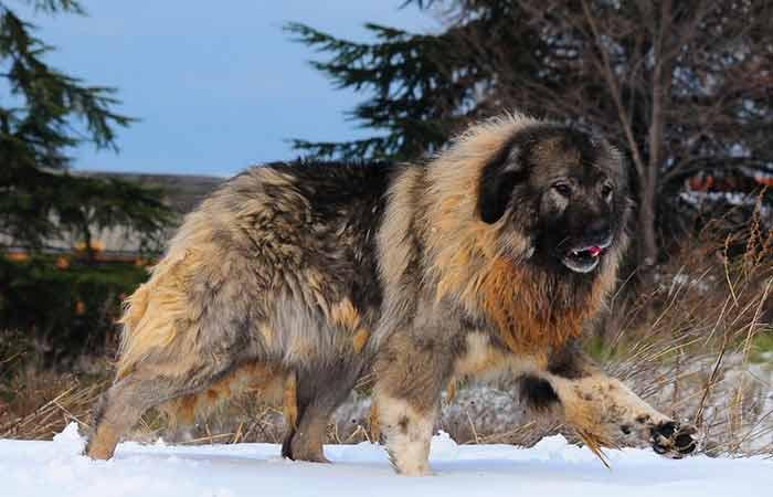 Bear-like Dog breed -Caucasian Mountain dog