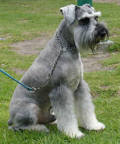 Male Schnauzer Dog