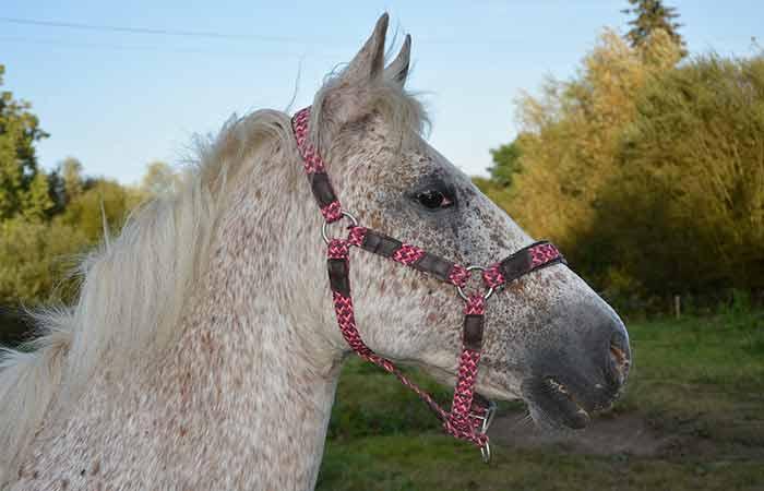 Female Appaloosa Horse