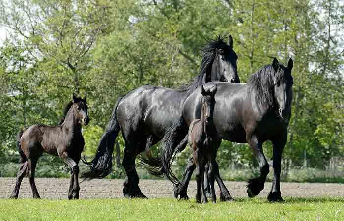 Black Friesian Horses