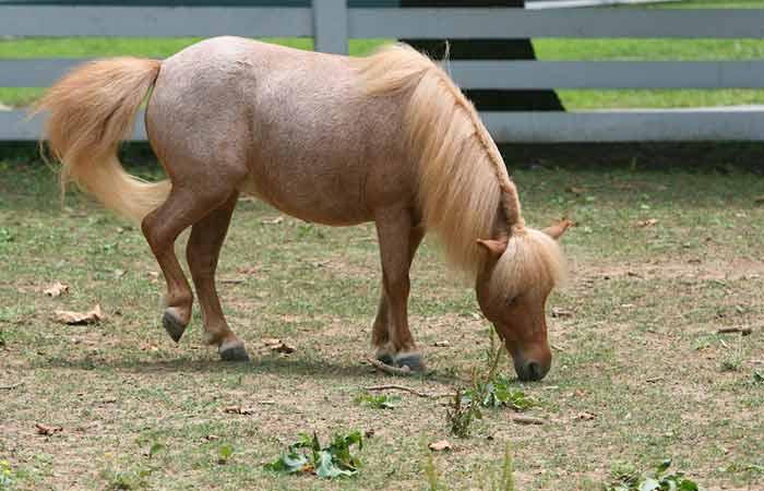 Chestnut Roan Horse