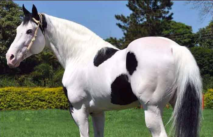 Cute Black and white paint horse