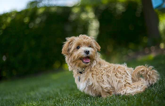 Grown Maltipoo picture