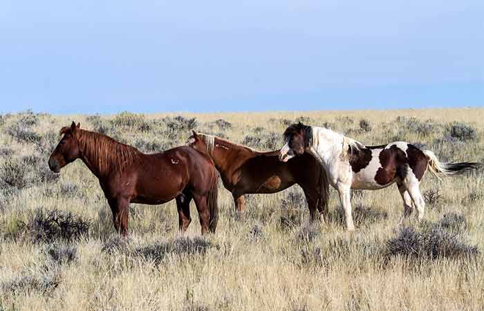 Mustang Horses in the wild