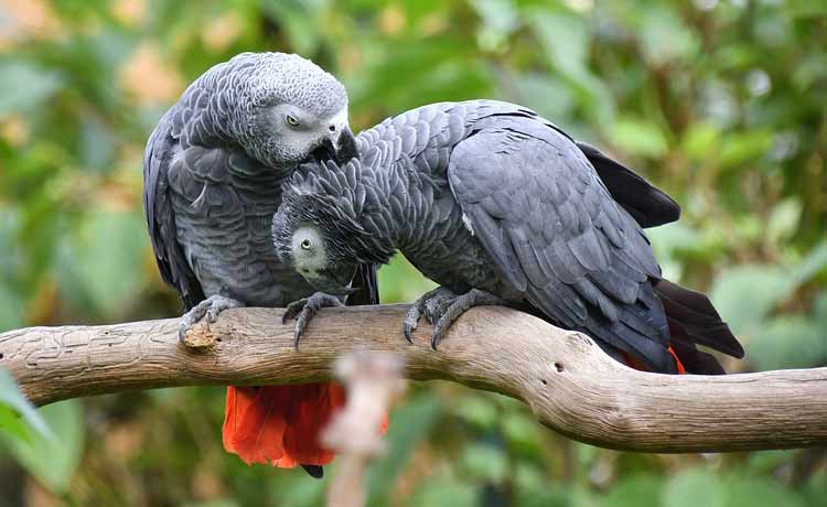 A pair of African Grey parrots