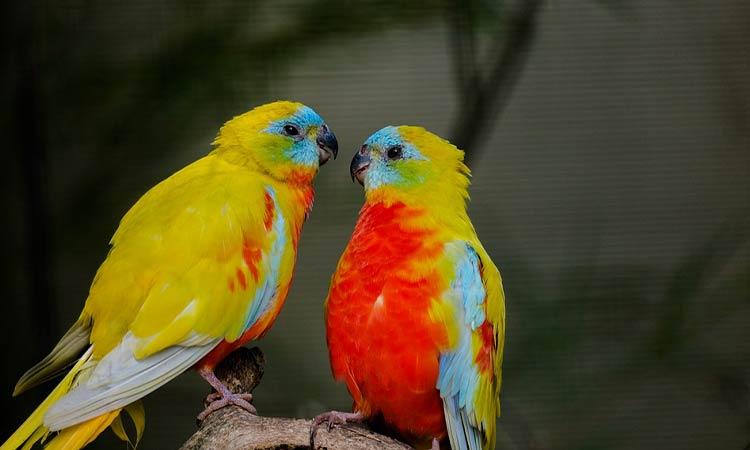 Beautiful Romantic Parakeets