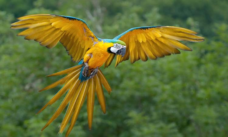 Blue and Yellow/Gold Macaw
