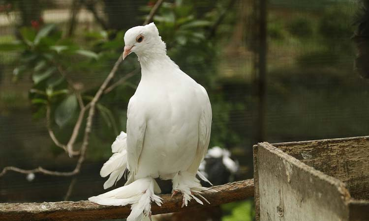 Crowned Dove