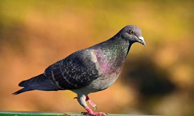 Rock Pigeon/Dove