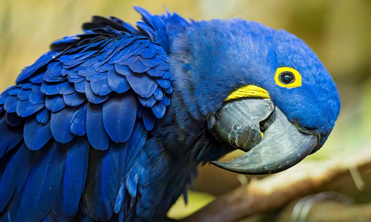 Hyacinth Macaw-Largest Parrot