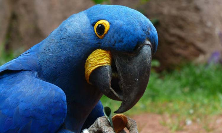 Lear's Macaw Parrot
