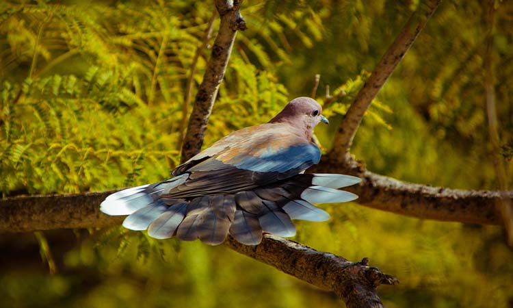 Male Dove on a tree