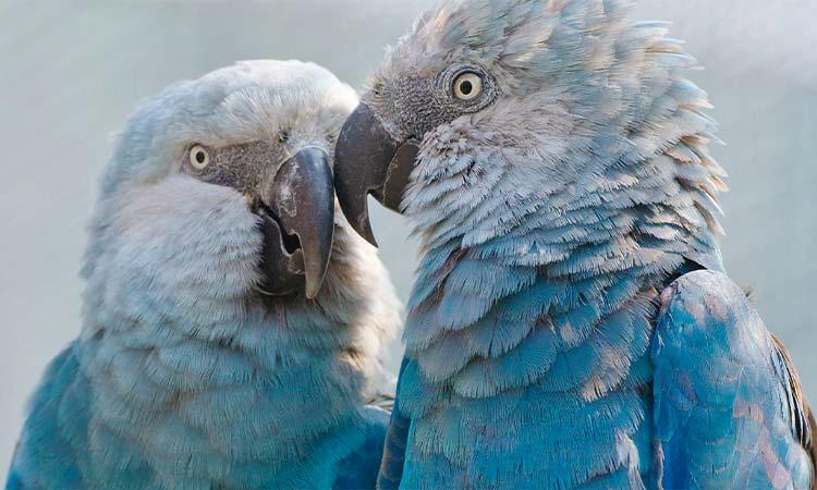 Rarest Parrot-Spix's Macaw