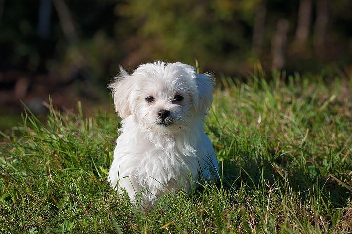 White Dog- Maltese