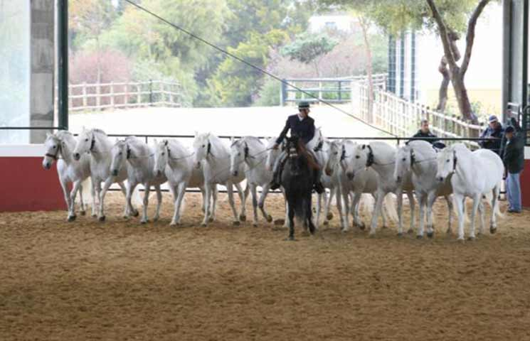 Pure Spanish Horses