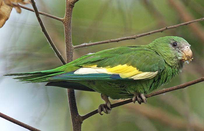 Caranary-winged parakeet