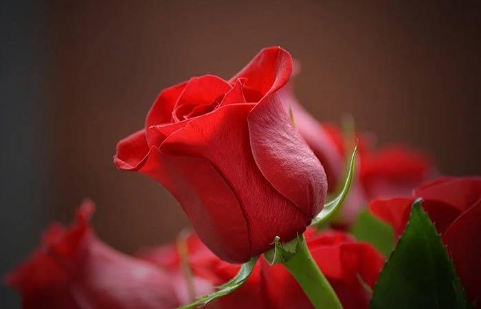 Red Flower- Rose