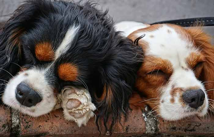 Peacefully relaxing dogs